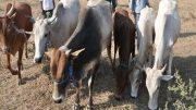 cow Traffickers